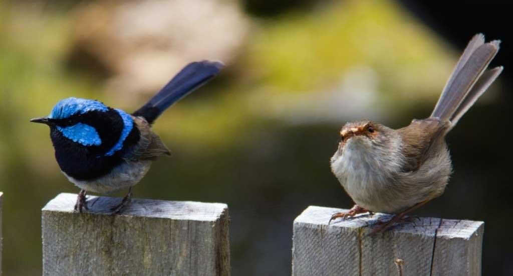 Blue Wren & Sparrow