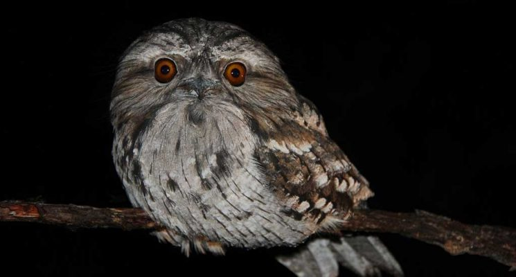 Tawny Frogmouth Owl